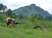 Kuer i Uganda. Foto: Lovise Ribe
